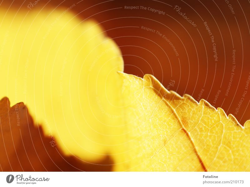 Nature Plant Leaf Autumn Bright Background picture Environment Natural Illuminate Rachis Autumnal Autumnal colours X-rayed