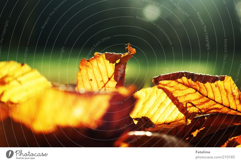 Nature Plant Leaf Autumn Warmth Bright Background picture Environment Natural Illuminate Rachis Autumn leaves Limp Autumnal X-rayed