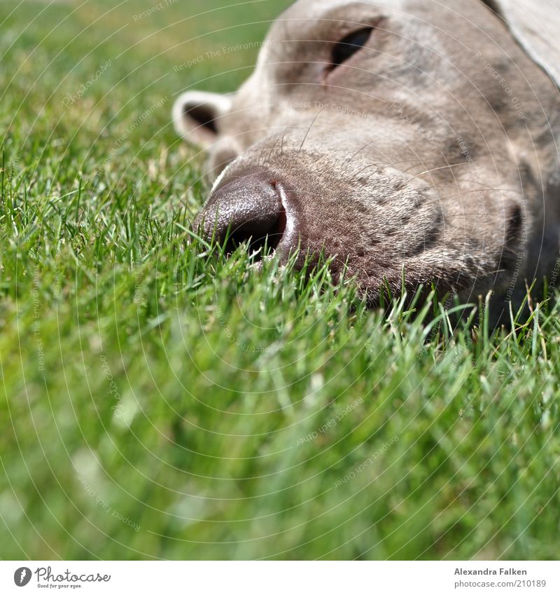 He's lying. Pet Dog Pelt Weimaraner Snout Relaxation Lie Sleep Lawn Grass Rest Stationary Colour photo Copy Space bottom Day Sunlight Animal portrait Forward