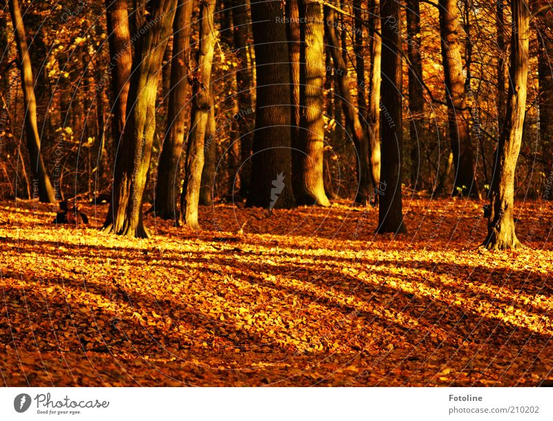 299 trees Environment Nature Elements Earth Autumn Plant Tree Leaf Wild plant Forest Natural Brown Gold Enchanted forest Colour photo Multicoloured
