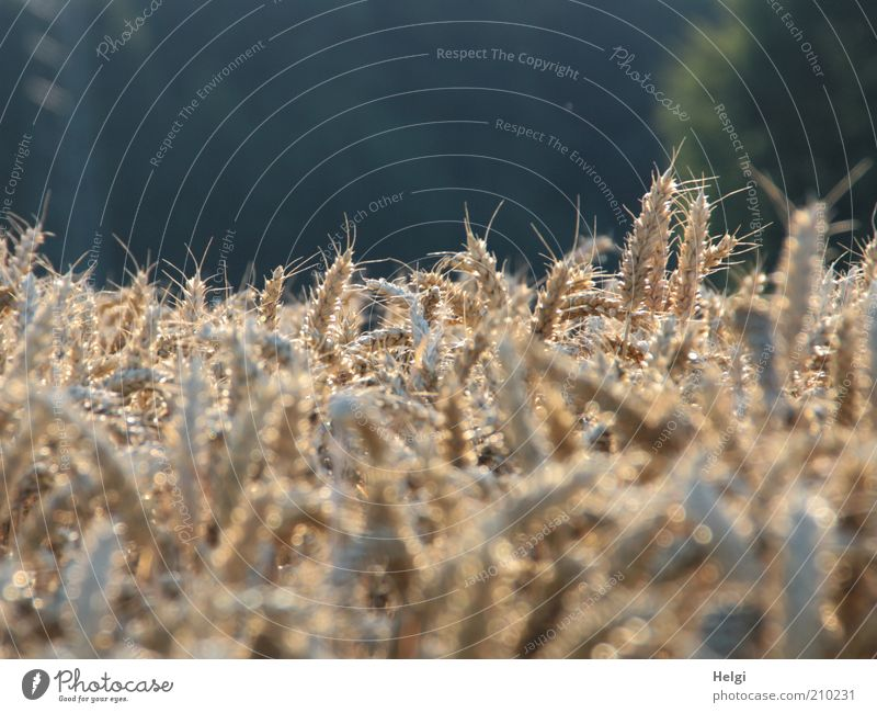 Nature Plant Summer Yellow Environment Moody Brown Field Glittering Natural Esthetic Growth Illuminate Transience Grain Dry