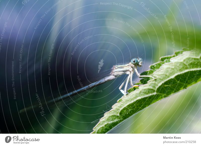 Li (e) be_lle at first glance Nature Plant Animal Leaf 1 To feed Crawl Large Round Blue Dragonfly Insect Esthetic Beautiful Graceful Looking Gaze Watchfulness