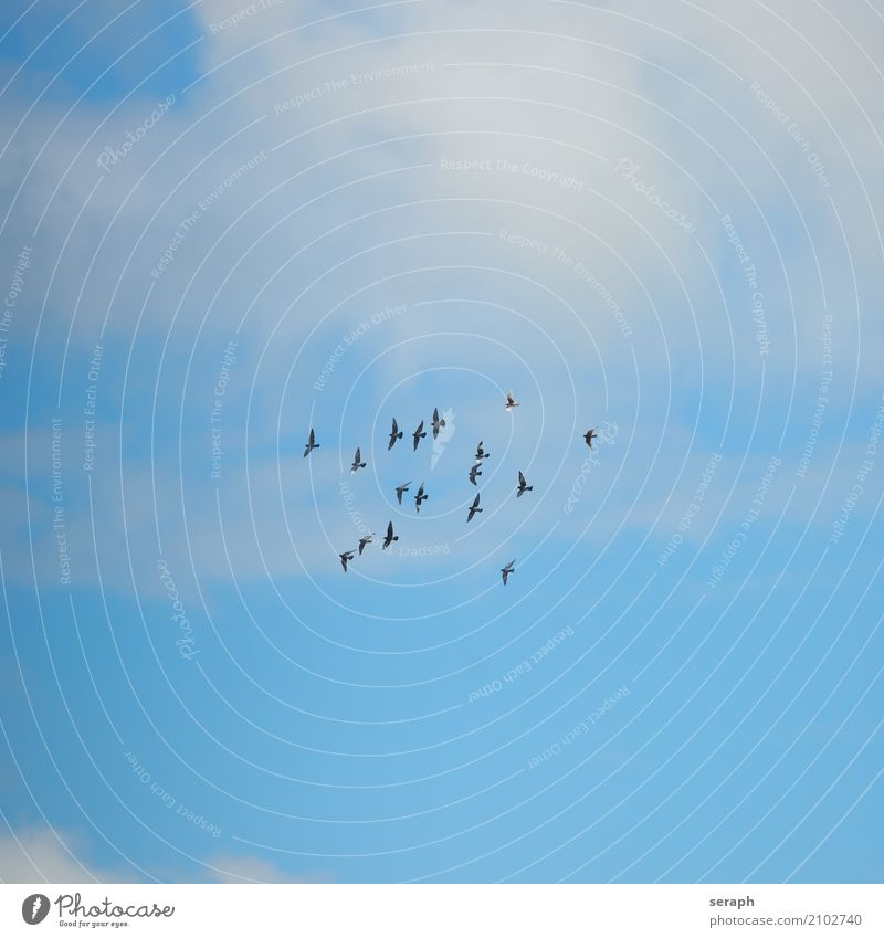 Pidgeon Swarm Sky Nature Animal Clouds Environment Flying Bird Wild animal Feather Group of animals Level Floating Pigeon Flock Flight of the birds Ornithology