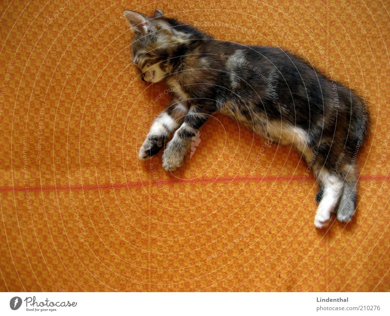 Baby cat that flies in a dream Animal Pet Cat 1 Baby animal Calm Restful Dream Relaxation Lie Blanket Orange Colour photo Interior shot Copy Space left