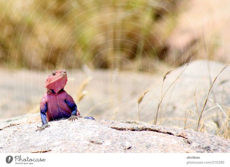 Muscle gag! Nature Animal Rock Serengeti National Park Tansania Africa Scales Claw Agamidae Common agama 1 Observe Discover Exceptional Exotic Muscular