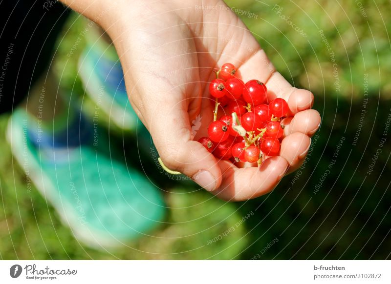 Do you want some? Fruit Child Boy (child) Hand Fingers 3 - 8 years Infancy To hold on Red Desire Redcurrant Garden Harvest Mature Berries Berry bushes Pick