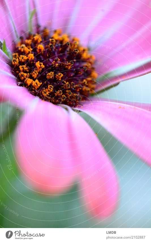 Flower and pollen Plant Blossom Orange Pink Gerbera Daisy Family Pollen Blossom leave Blossoming Gift Colour photo Multicoloured Exterior shot Close-up Detail