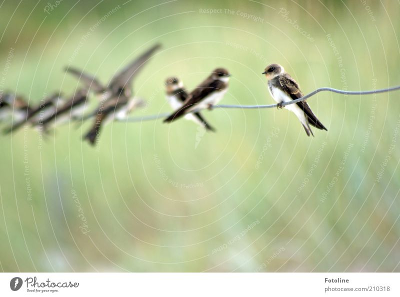 Nature Green Summer Animal Bright Bird Wait Environment Sit Natural Wild animal Wire Flock Swallow Flock of birds