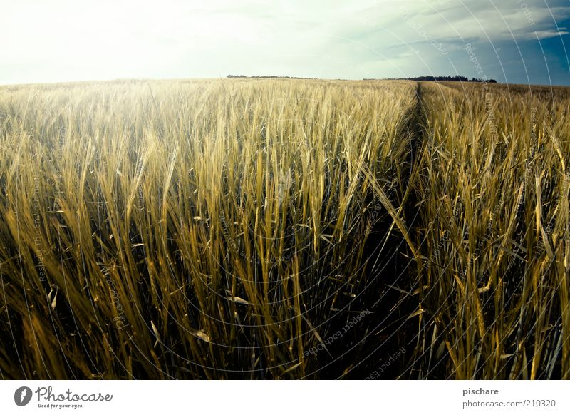 Sky Nature Far-off places Yellow Landscape Lanes & trails Horizon Field Gold Natural Esthetic Growth Beautiful weather Cornfield Wheat Agricultural crop