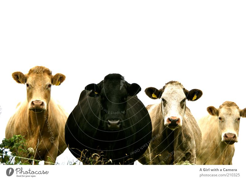Nature Animal Black Head Friendship Together Gold Stand Group of animals Cattle Ear Fat Cow Herd Muzzle Sympathy