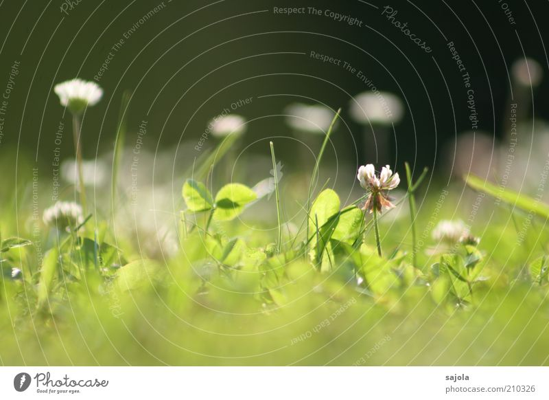 Flower Green Plant Summer Meadow Grass Environment Perspective Lawn Daisy Clover Meadow flower Clover blossom