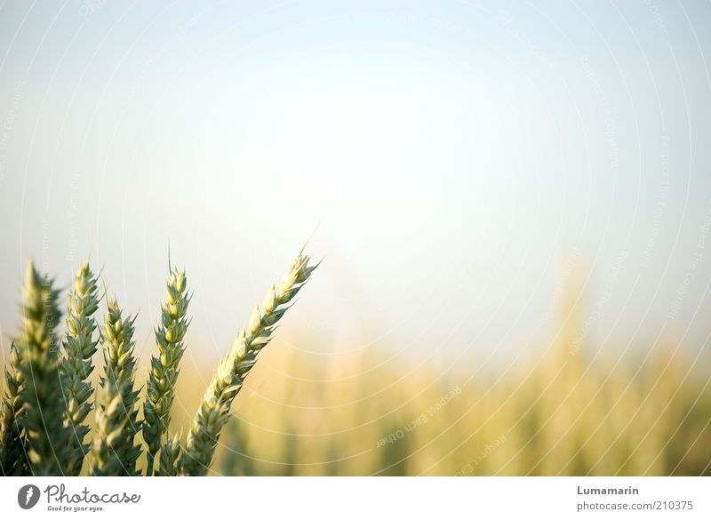 supporting act Environment Cloudless sky Sunlight Summer Plant Agricultural crop Field Simple Healthy Bright Natural Warmth Idyll Growth Grain Grain field