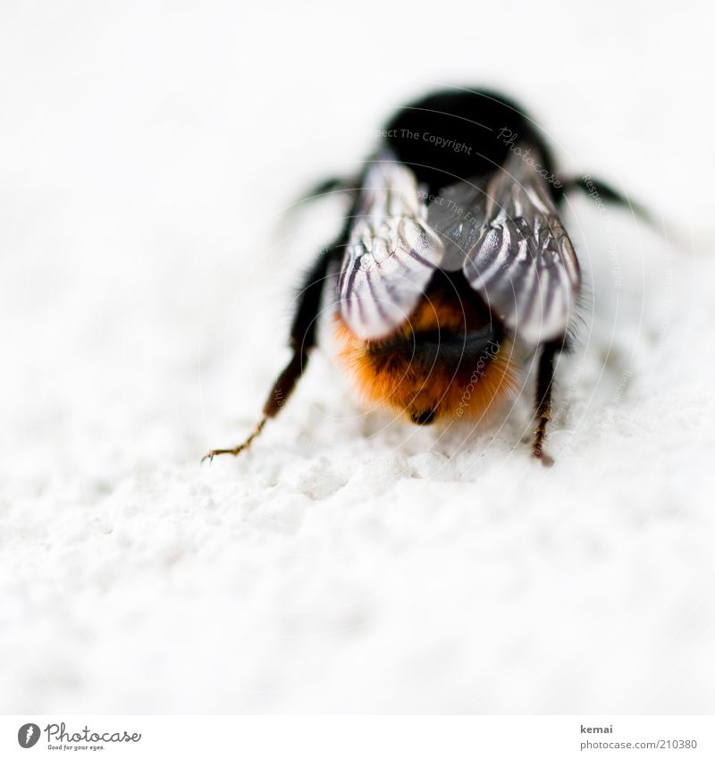 Nature Black Animal Legs Orange Sit Hind quarters Wing Insect Bee Wild animal Bumble bee Action