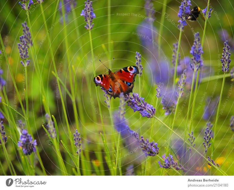 Peacock butterfly in the lavender field Summer Nature Park Butterfly Eating Elegant Beautiful Aglais io blue day European feeding flower green insect natural