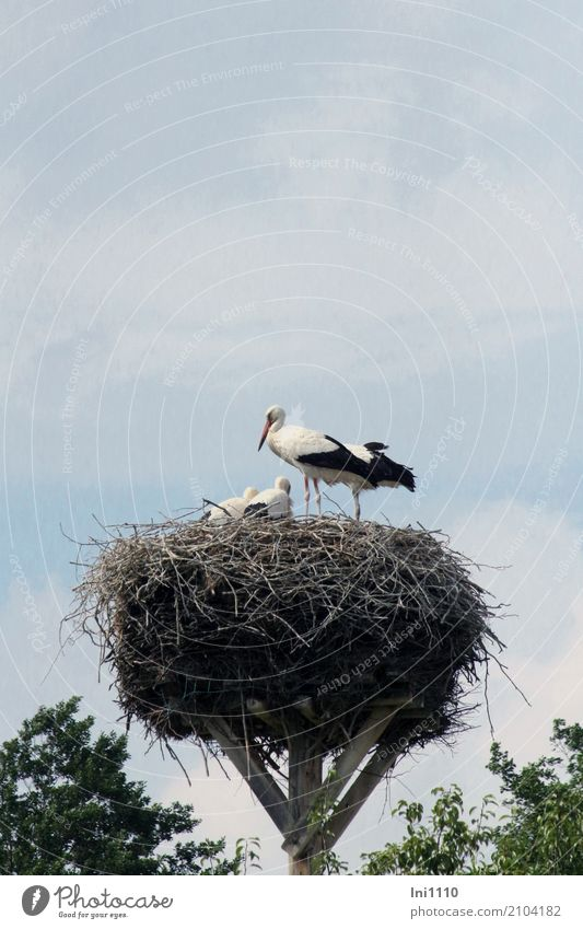 stork's nest Nature Plant Animal Summer Beautiful weather Meadow Lakeside Wild animal Bird Wing Stork 4 Group of animals Baby animal Power Attentive