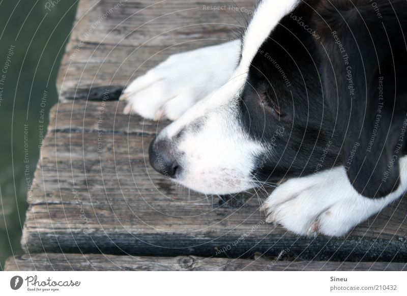 Nature Water White Summer Black Animal Relaxation Dog Nose Break Animal face Lie Observe Curiosity Cute Footbridge