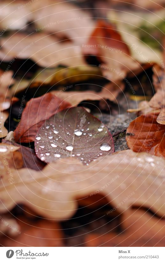 foliage Nature Drops of water Autumn Leaf Wet Gloomy Brown Decline Transience Autumn leaves Autumnal Dew Colour photo Exterior shot Close-up Deserted