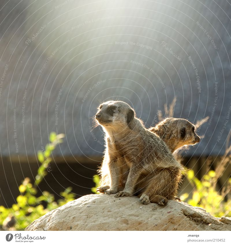 guard Meerkat 2 Animal Observe Discover Looking Sit Wait Exotic Curiosity Cute Watchfulness Conscientiously Unwavering Expectation Teamwork Attachment Mammal