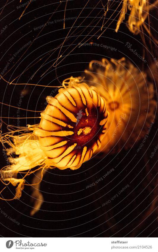 Japanese sea nettle Jellyfish, Chrysaora pacifica Nature Blue Water Ocean Animal Life Yellow Movement Coast Orange Gold Wild animal Living thing