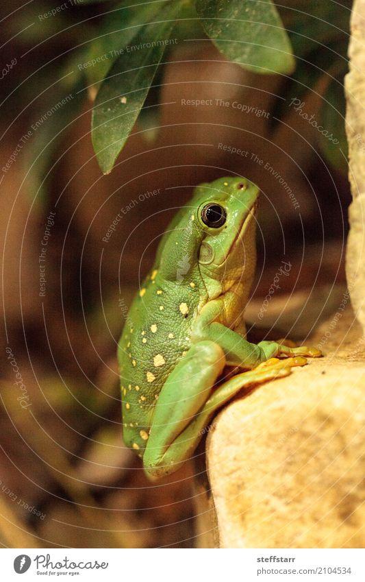 Magnificent tree frog Litoria splendida Animal Wild animal Frog 1 Yellow Green Splendid tree frog Tree frog green frog amphibian herp herpetology Reptiles