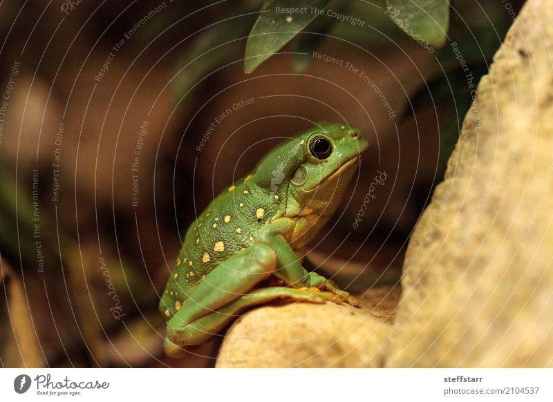 Magnificent tree frog Litoria splendida Animal Frog 1 Wild Yellow Green Splendid tree frog Tree frog green frog amphibian herp herpetology Reptiles wildlife