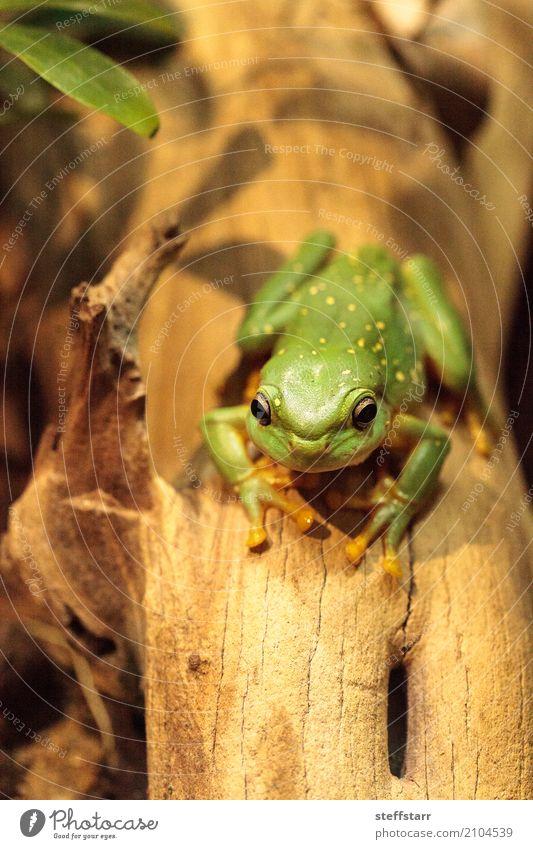 Magnificent tree frog Litoria splendida Animal Frog 1 Wild Gold Green Splendid tree frog Tree frog green frog amphibian herp herpetology Reptiles wildlife