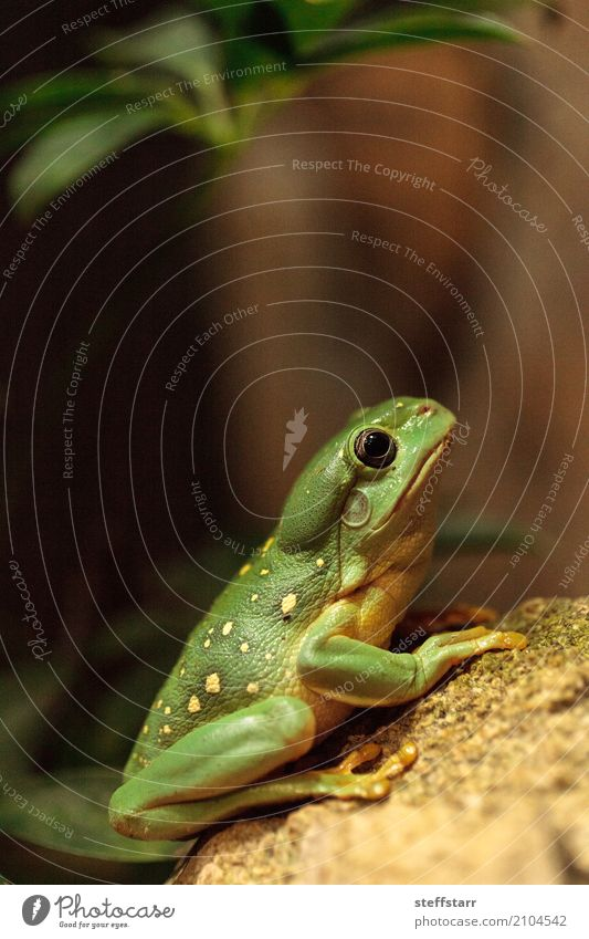 Magnificent tree frog Litoria splendida 1 Human being Animal Wild animal Green Splendid tree frog Tree frog green frog amphibian herp herpetology Reptiles