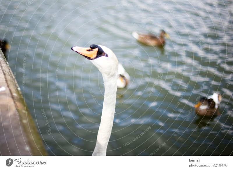 Long Neck Environment Nature Animal Park Pond Wild animal Bird Swan Animal face Duck Beak Head 4 Large gooseneck Stretching Water Colour photo Subdued colour
