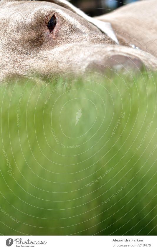 Green Calm Animal Relaxation Grass Gray Dog Large Sleep Lawn Animal face Lie Pelt Pet Snout Doze