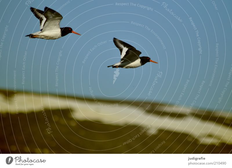Iceland Environment Nature Landscape Animal Sky Cloudless sky Snow Hill Mountain Snowcapped peak Wild animal Bird Oyster catcher 2 Pair of animals Flying