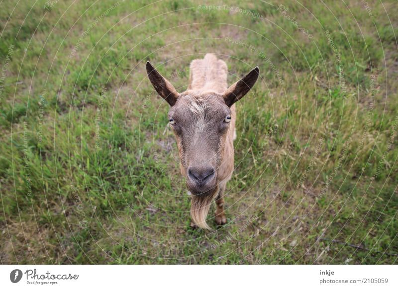 Goats staring at women. Nature Spring Summer Grass Meadow Animal Farm animal Wild animal Animal face 1 Looking Stand Near Curiosity Emotions Colour photo