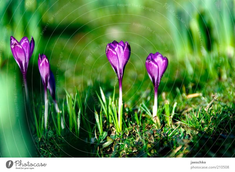Spring full Environment Nature Plant Earth Beautiful weather Flower Grass Garden Park Meadow Growth Esthetic Fresh Natural Green Violet Spring fever Crocus