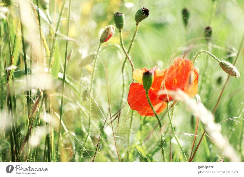 Nature Flower Green Plant Red Summer Blossom Landscape Environment Authentic Wild Blossoming Fragrance Poppy Flower meadow
