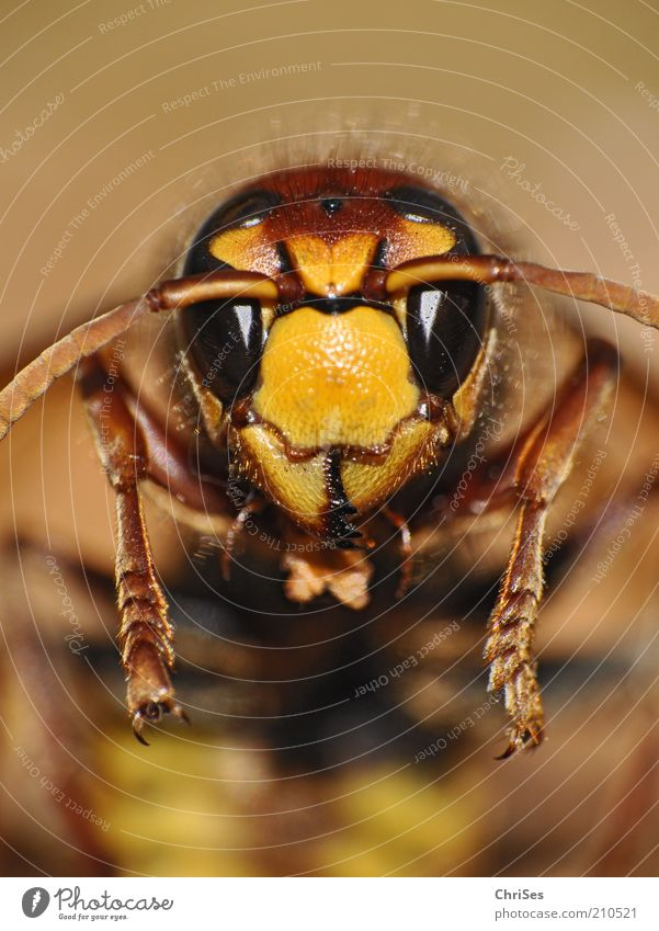 Nature Beautiful Summer Black Eyes Animal Yellow Legs Brown Glittering Gold Animal face Insect Hide Bee