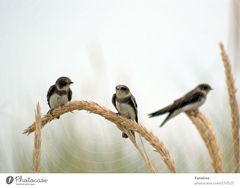 coffee-table gossip Environment Nature Animal Air Sky Summer Plant Grass Wild animal Bird Animal face Wing Bright Natural Sit Swallow marram grass Colour photo