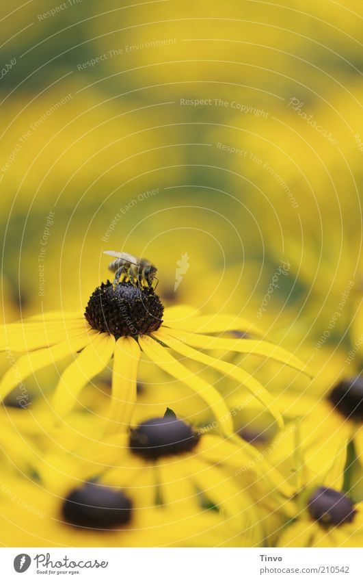 Flower Plant Summer Yellow Blossom Bee Herbaceous plants Suck Animal Nectar Sprinkle Rudbeckia