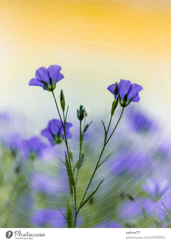 Nature Plant Blue Summer Beautiful Flower Calm Life Environment Yellow Blossom Healthy Garden Moody Field Esthetic