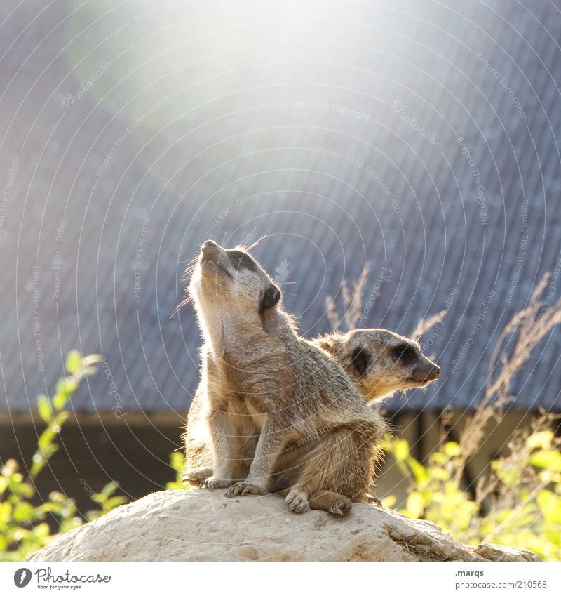 Reach the Sun Meerkat 2 Animal Observe Discover To enjoy Looking Sit Curiosity Cute Watchfulness Unwavering Expectation Attachment Mammal Zoology Colour photo