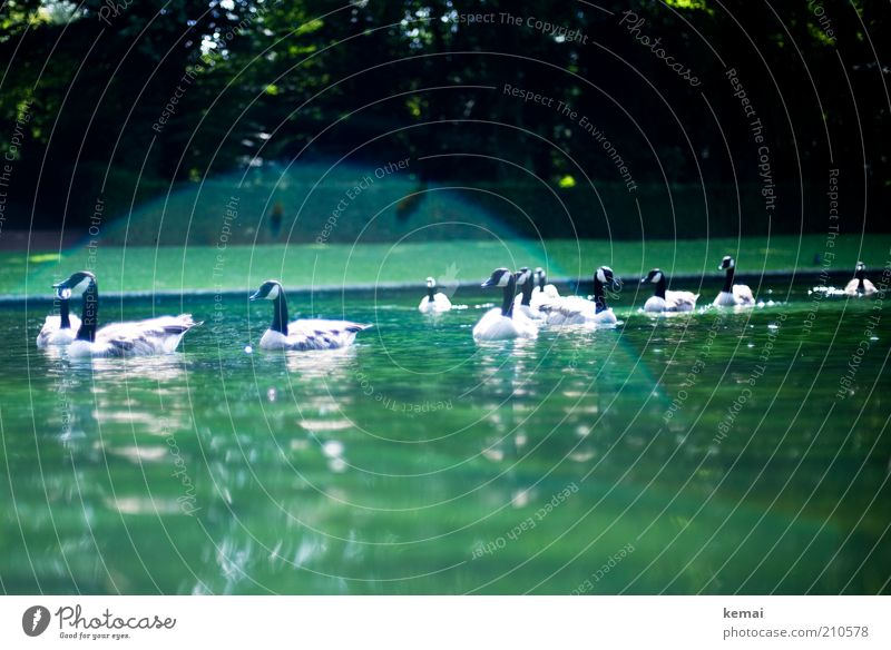 Nature Water Green Summer Animal Environment Park Warmth Bird Swimming & Bathing Climate Group of animals Wild animal Pond Duck Beautiful weather