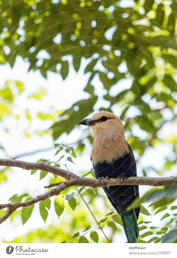 Northern purple roller called Coracias naevius naevius Nature Plant Tree Park Animal Wild animal Bird Animal face Wing 1 Multicoloured Yellow Green Violet