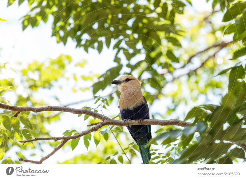 Northern purple roller called Coracias naevius naevius Nature Plant Tree Animal Wild animal Bird Animal face Wing 1 Brown Yellow Green Violet White Wild bird