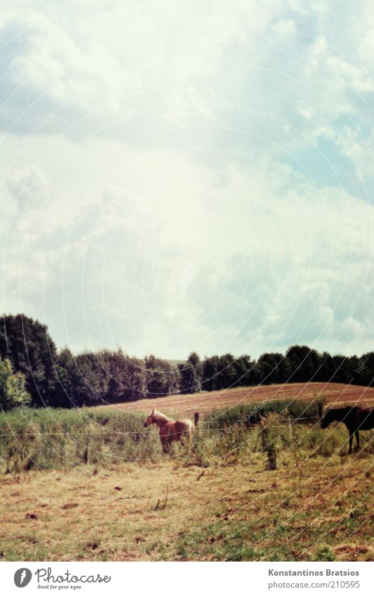 half black and full of beauty Sky Clouds Spring Summer Beautiful weather Tree Field Horse 2 Animal Stand Authentic Love of animals Nature Pasture Retro Colours