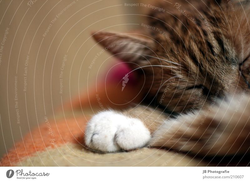White Red Calm Animal Relaxation Freedom Dream Cat Contentment Brown Sleep Ear Soft Lie Joie de vivre (Vitality) Natural