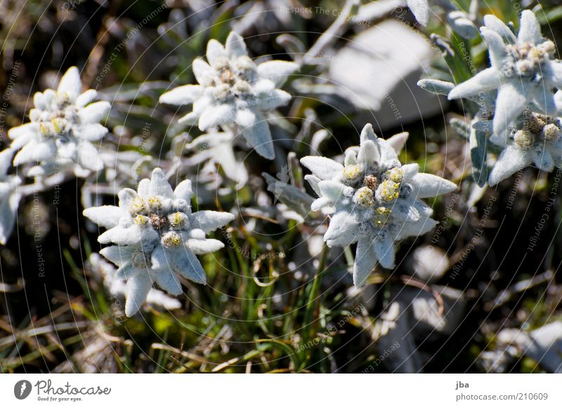 edelweiss Healthy Environment Nature Plant Summer Flower Edelweiss Rock Alps Mountain Rüebli Peak Saanenland Switzerland Tourist Attraction Old Blossoming