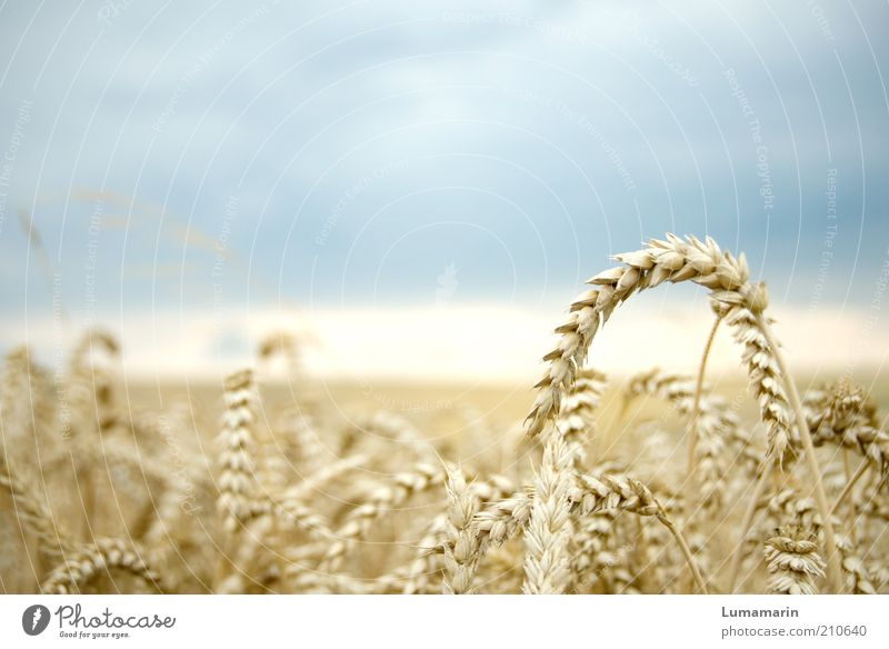 harvest maturity Food Nutrition Environment Landscape Storm clouds Horizon Summer Plant Agricultural crop Field Simple Fresh Healthy Natural Dry Idyll Climate