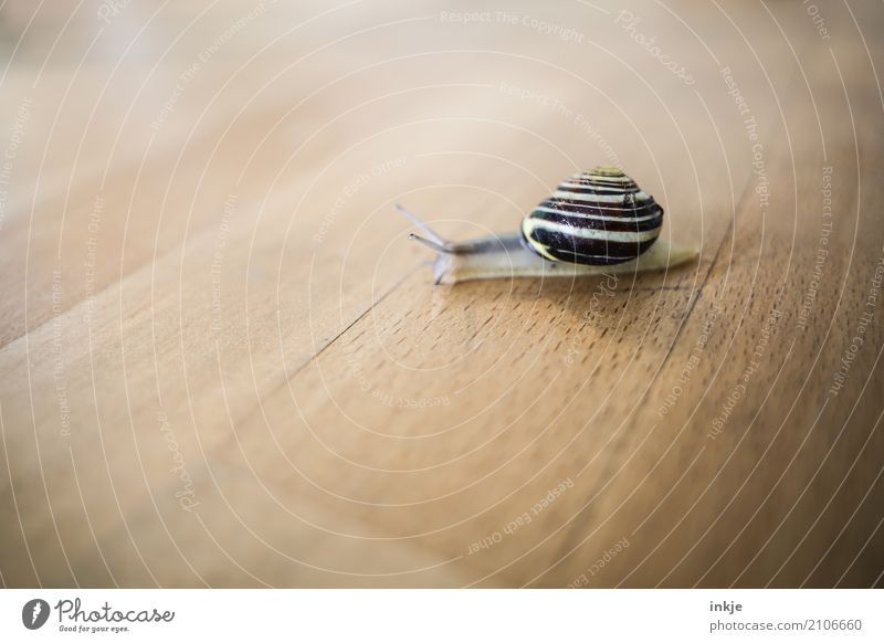 straight ahead Colour photo Snail Close-up Interior shot Macro (Extreme close-up) Tabletop Wood Crawl Small Brown Beige Slowly Cute Individual Animal portrait