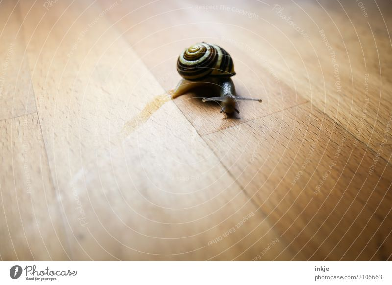 Animal Wood Brown Copy Space Individual Curve Wooden table Snail Crawl Beige Tabletop Vignetting Snail shell Slimy Mucus Crawler lane