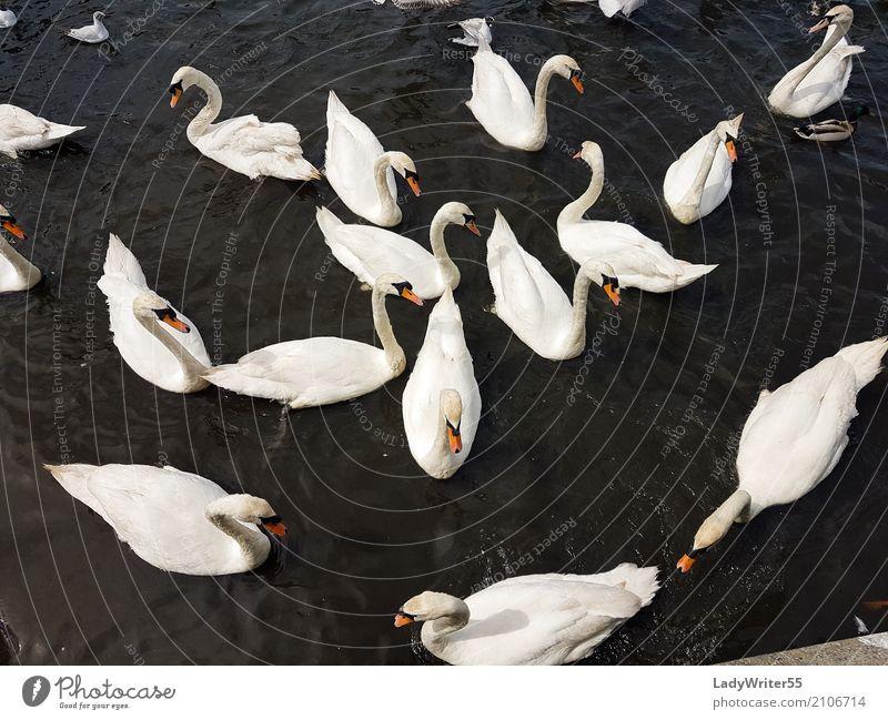 Group of Swans Elegant Beautiful Nature Landscape Animal Pond Lake Bird Feeding Wild White Aquatic background Beak Beauty Photography Feather flock gracious