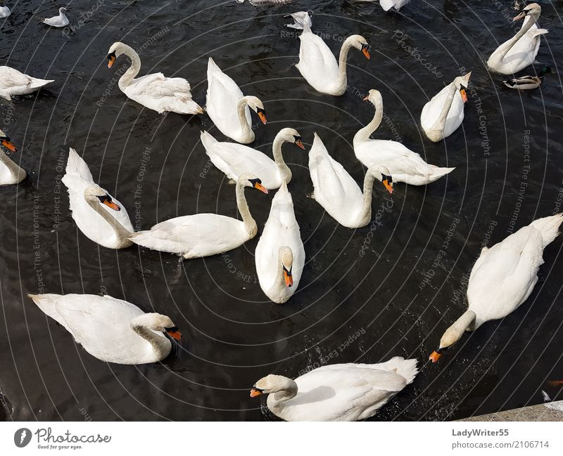 Group of Swans Nature Beautiful White Landscape Animal Lake Bird Wild Elegant Feather Beauty Photography Pond Beak Feeding