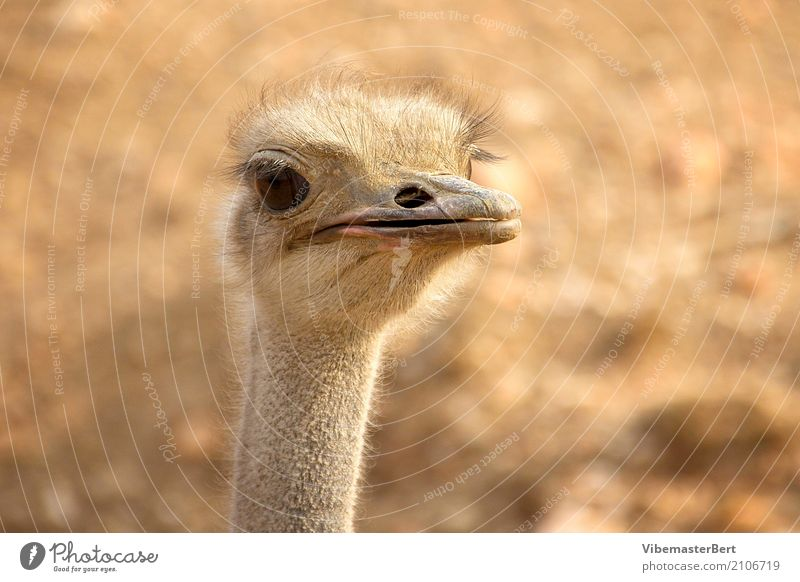 Bird Ostrich Animal Wild animal Animal face 1 Observe Looking Curiosity Brown Love of animals Colour photo Exterior shot Close-up Day Animal portrait